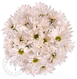 White Natural Pompom Daisy Buy Bulk Wholesale Bouquets, Flowers & Greens
