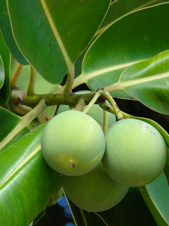 Organic beauty: Tamanu oil