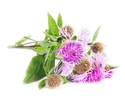natural breast milk increase with blessed thistle