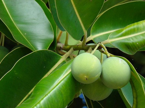 Tamanu oil has been been used on scrapes, cuts and scars for centuries. Not only does it relieve sharp pain, it's antimicrobial and helps healthy skin regeneration!