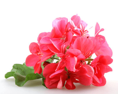 geranium oil benefits for skin acne