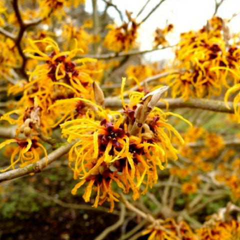 how-to-help-pregnancy-acne-natural-makeup-remover-witch-hazel
