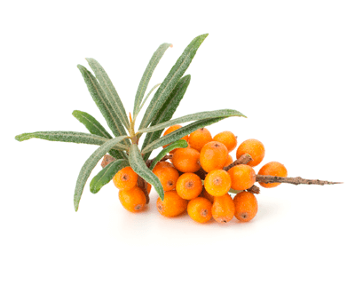 lose stretch marks with sea buckthorn oil