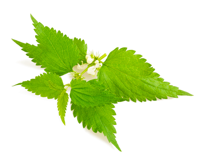 stinging nettle treatment during pregnancy