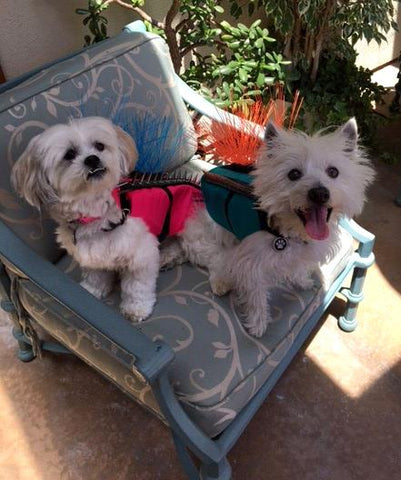 Buddy the Westie and Bon Bon the Lhasa