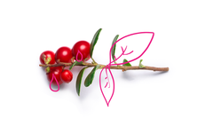 Vaccinium Marcrocarpon (Cranberry) Fruit Extract