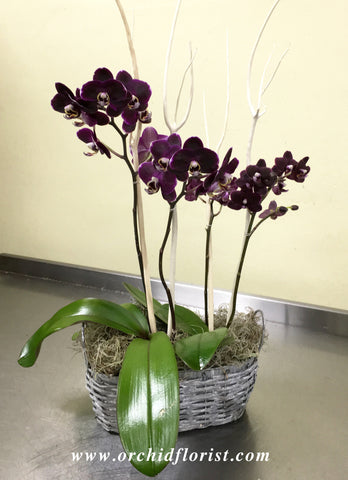 Aubergine Orchid Basket