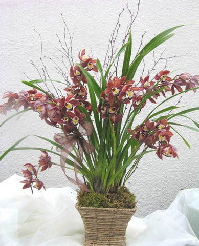 Cymbidium Galore