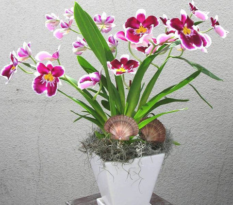 Sunrise of the Miltonia