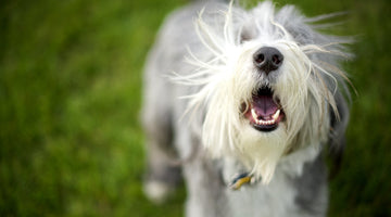 3 Reasons Why Your Dog Is Barking Constantly for No Reason