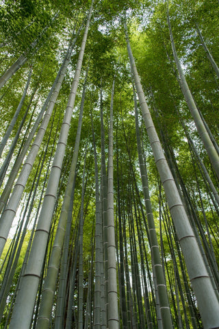Bamboo forest. Is Bamboo good for Clothing?