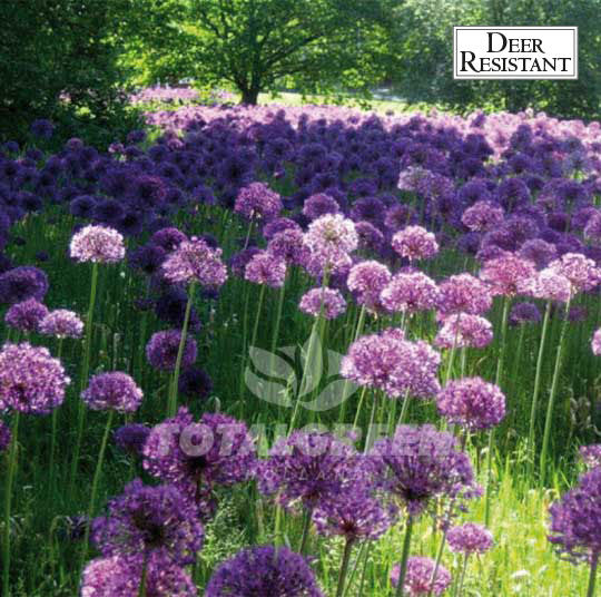 Allium Purple Sensation Flower Bulbs Landscape Design
