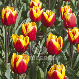 Landscaping flower bulbs, laura fygi, red-yellow tulips, tulips