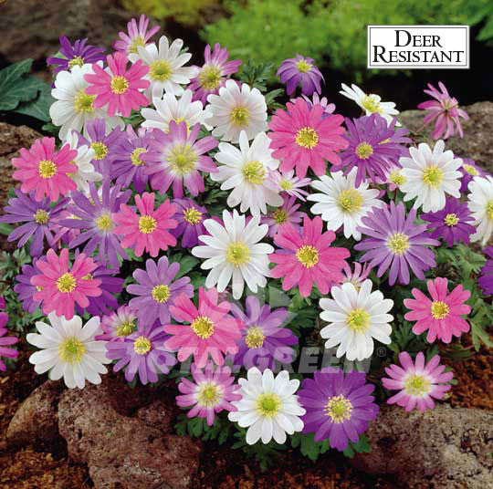 Landscaping flower bulbs, anemone blanda mix, white, pink and purple anemone, specialty flowers
