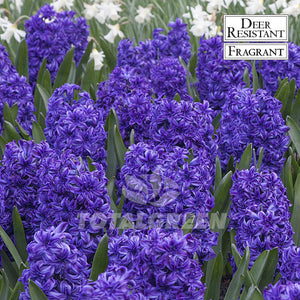 Landscaping flower bulbs, blue jacket, blue hyacinths, hyacinths