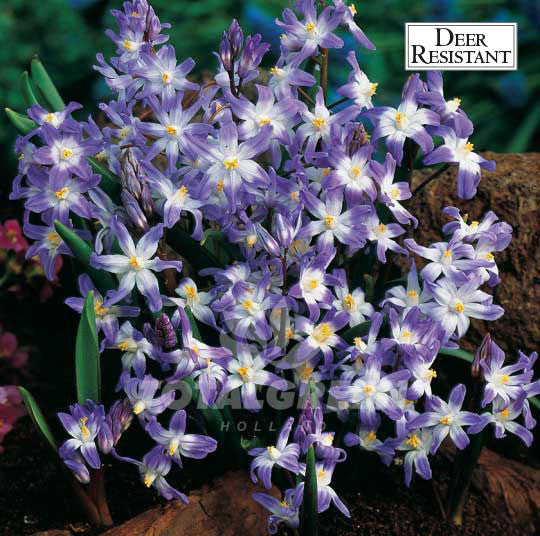 Landscaping flower bulbs, chionodoxa luciliae, violet blue and white, specialty flowers