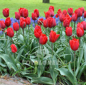 Landscaping flower bulbs, couleur cardinal, cardinal red tulips, tulips
