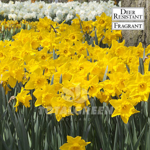 Landscaping flower bulbs, dutch master, yellow daffodil, daffodils and narcissi