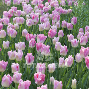Landscaping flower bulbs, dynasty, pink-white tulips, tulips