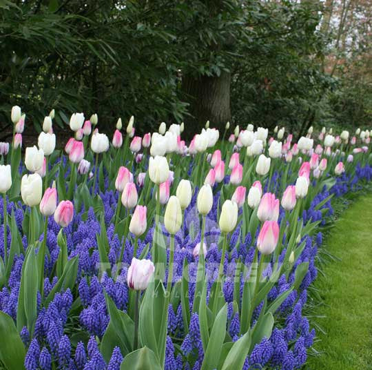 Landscaping flower bulbs, easter glory, pink and white tulips, trend combinations