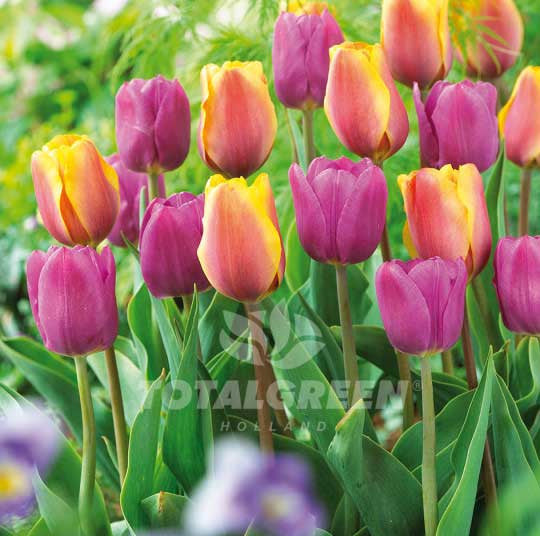 Landscaping flower bulbs, english charm, yellow and purple tulips, trend combinations