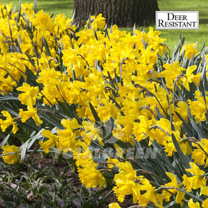 Landscaping flower bulbs, golden harvest, yellow daffodils, daffodils and narcissi
