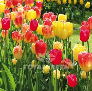 Landscaping flower bulbs, gudoshnik, red-yellow tulips, tulips