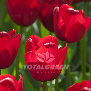 Landscaping flower bulbs, ile de france, red tulips, tulips