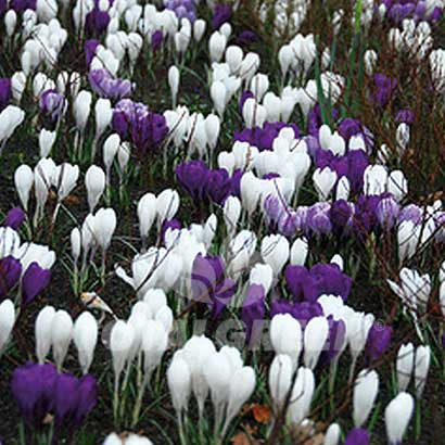 Landscaping flower bulbs, large flowering crocus special mix, white, purple and striped crocus, crocus