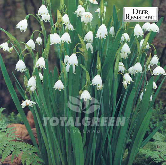 Landscaping flower bulbs, leucojum gravetye giant, white, specialty flowers