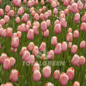 Landscaping flower bulbs, menton, salmon tulips, tulips