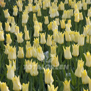 Landscaping flower bulbs, moonshine, yellow lily flowered tulips, tulips