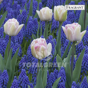 Landscaping flower bulbs, showtime, pink tulip and blue muscari, trend combinations