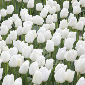 Landscaping flower bulbs, pim fortuyn, white tulips, tulips