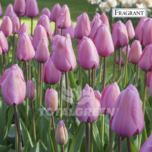 Landscaping flower bulbs, pink impression, pink tulips, tulips