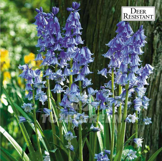 Landscaping flower bulbs, scilla non scripta, violet blue scilla, specialty flowers