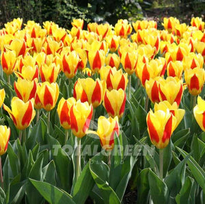 Landscaping flower bulbs, stresa, yellow-red tulips, tulips