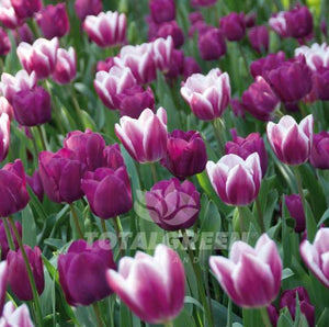 Landscaping flower bulbs, tulip mixture 'wood' you love, purple and purple-white tulips, trend combinations