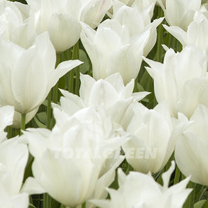 Landscaping flower bulbs, white elegance, white lily flowered tulips, tulips