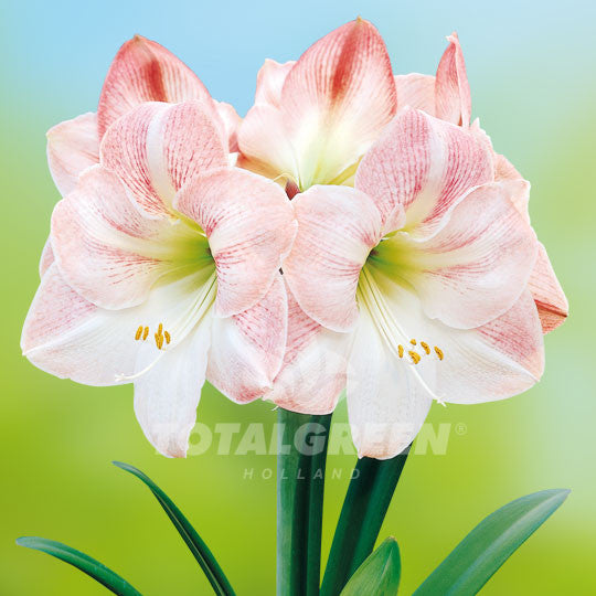 Amaryllis, Pink, white, Apple Blossom