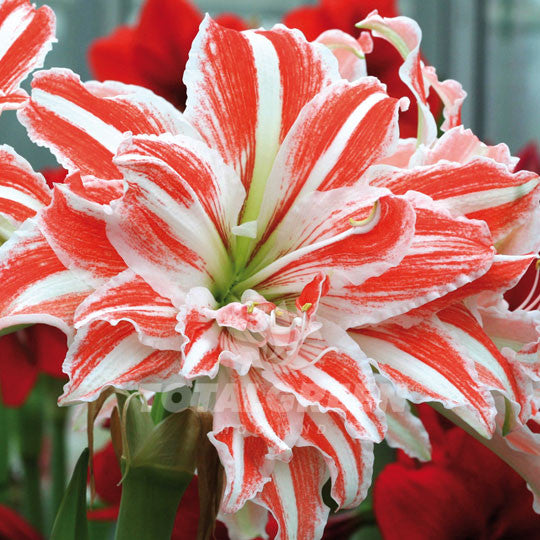 Amaryllis, Dancing Queen, Striped, Red, White