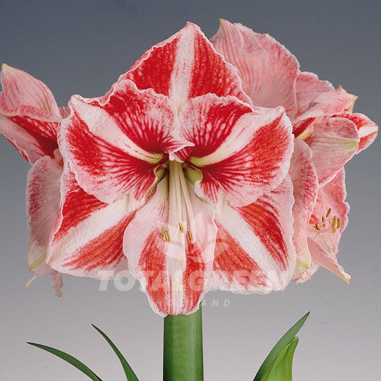 Amaryllis, Red, White, Striped, Minerva, Bulb