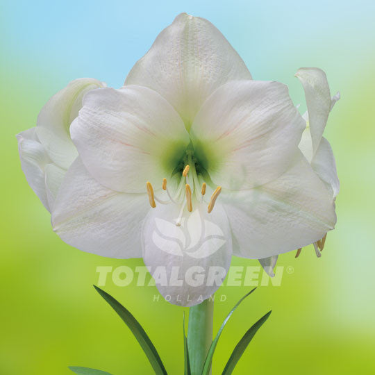 Amaryllis, White, Beautiful