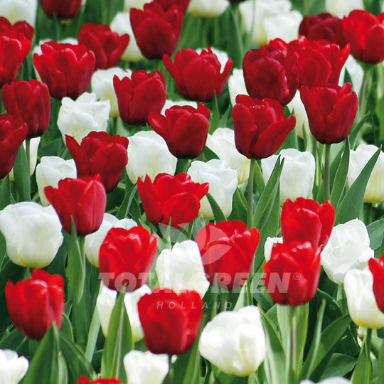 Landscaping flower bulbs, amsterdam trophy, red and white tulips, trend combinations