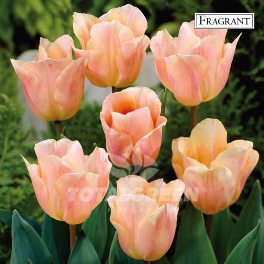 Landscaping flower bulbs, apricot beauty, salmon tulips, tulips