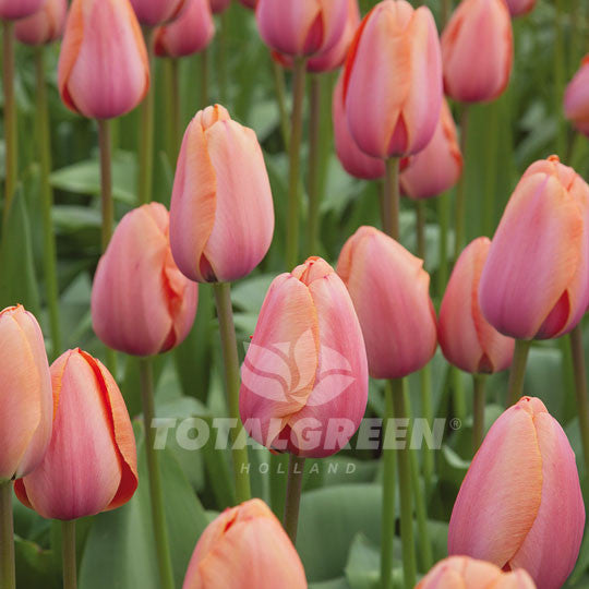 Landscaping flower bulbs, apricot impression, pink tulips, tulips