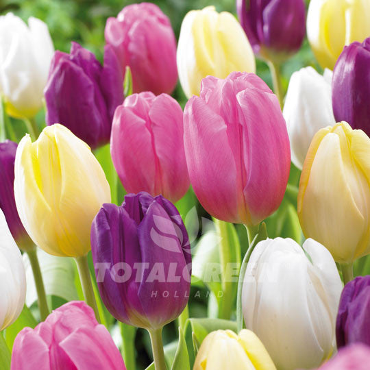 Landscaping flower bulbs, augusta blend, pale yellow, white, pink and yellow tulips, trend combinations