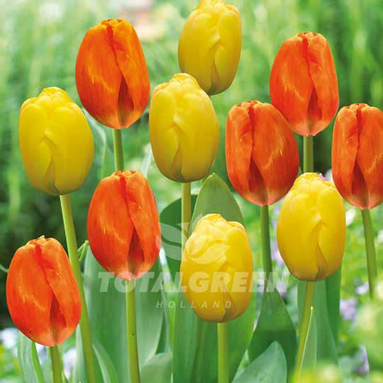 Landscaping flower bulbs, battery park, orange and yellow tulips, trend combinations
