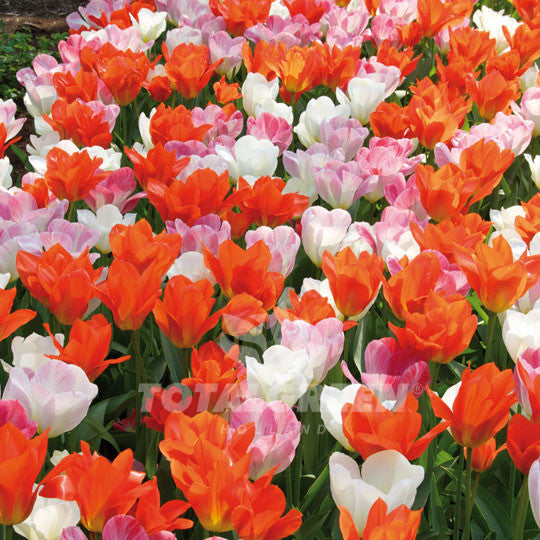 Landscaping flower bulbs, bryant park, pink, white and orange tulips, trend combinations