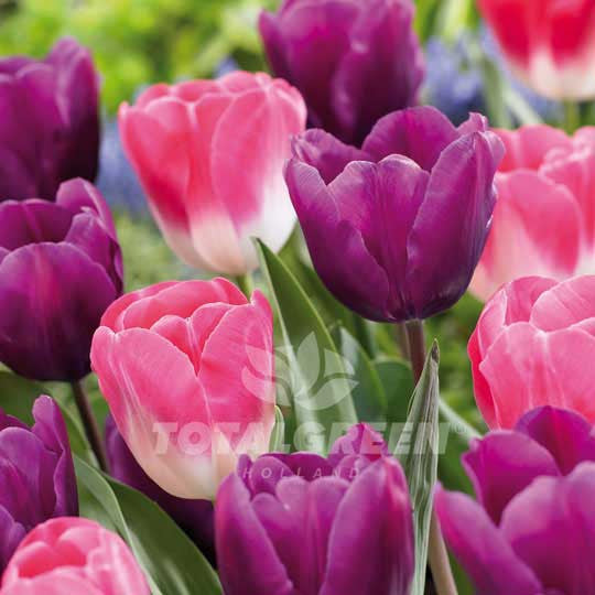 Landscaping flower bulbs, candy mixed, purple and pink-white tulips, trend combinations